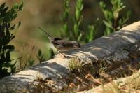 Kleine zwartkop – Sylvia melanocephala(3)