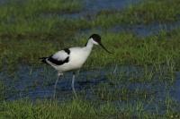 Kluut – Recurvirostra avosetta(1)