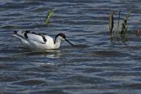 Kluut – Recurvirostra avosetta(2)