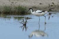 Kluut – Recurvirostra avosetta(3)