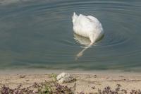 Knobbelzwaan onder water fouragerend – Cygnusolor