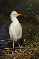 Koereiger – Bubulcus ibis(1)