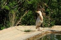 Koereiger – Bubulcus ibis(2)