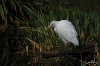 Koereiger – Bubulcus ibis(3)