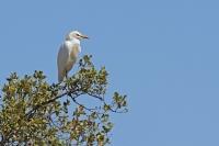 Koereiger – Bubulcus ibis(4)