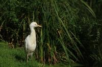 Koereiger – Bubulcus ibis(5)