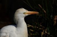 Koereiger – Bubulcus ibis(6)