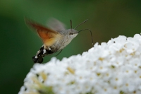 Kolibrivlinder – Macroglossum stellatarum(1)