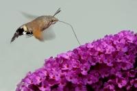 Kolibrivlinder – Macroglossum stellatarum(2)