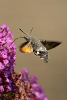 Kolibrivlinder – Macroglossum stellatarum(3)