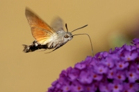 Kolibrivlinder – Macroglossum stellatarum(4)