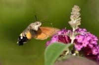 Kolibrivlinder – Macroglossum stellatarum(5)