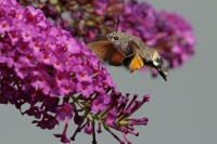 Kolibrivlinder – Macroglossum stellatarum(6)