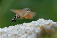 Kolibrivlinder – Macroglossum stellatarum(7)