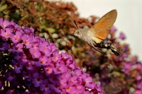 Kolibrivlinder – Macroglossum stellatarum(8)
