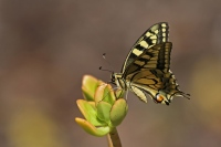 Koninginne Page – Papiliomachaon