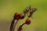 Koninginnepage – Papilio machaon(2)