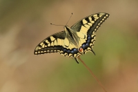 Koninginnepage – Papiliomachaon