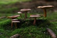 Koningsmantel – Tricholomopsisrutilans