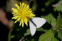 Koolwitje – Pieris brassicae(2)