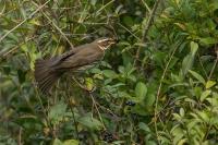 Koperwiek foeragerend -Turdusiliacus