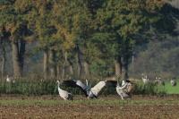 Kraanvogels Diepholz 01-11-2014 035LW