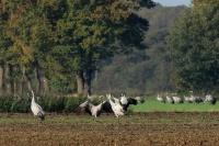 Kraanvogels Diepholz 01-11-2014 037LW