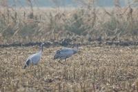 Kraanvogels foeragerend – Grusgrus