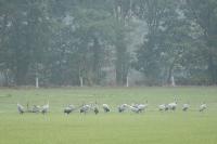kraanvogels-grus-grus-4