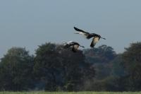Kraanvogels in vlucht Diepholz 01-11-2014 029LW