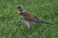 Kramsvogel – Turdus pilaris(3)