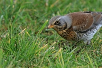 Kramsvogel – Turdus pilaris(6)