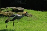 Kroonkraanvogel – Balearicaregulorum