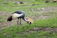 Kroonkraanvogel Balearica regulorum