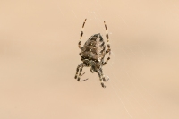 Kruisspin – Araneusdiadematus