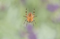 Kruisspin onderzijde – Araneus diadematus(2)
