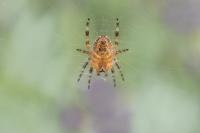 Kruisspin onderzijde – Araneus diadematus(3)