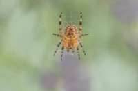Kruisspin onderzijde – Araneusdiadematus