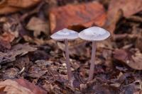 lila-satijnvezelkop-inocybe-geophylla-var-lilacea-1