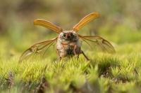Meikever wegvliegend – Melolonthamelolontha