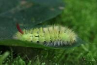 Meriansborstel – Calliteara pudibunda(2)