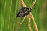 Mi-vlinder – Euclidia mi(2)