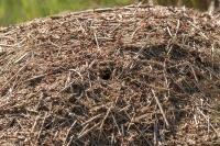 Mierenhoop – Formica