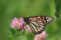 Monarchvlinder – Danaus plexippus(2)