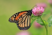 Monarchvlinder – Danaus plexippus(3)