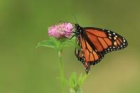 Monarchvlinder – Danausplexippus
