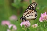 Monarchvlinder Danaus plexippus