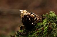 Muizenstaart zwammetje – Baeosporamyosura