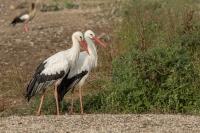 ooievaar-echtpaar-ciconia-ciconia