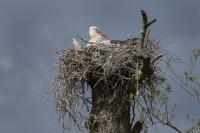 Ooievaar op natuurlijk nest – ciconiaciconia